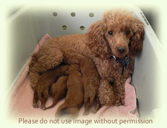 de medici poodles aurora s miniature poodle puppies december 2009